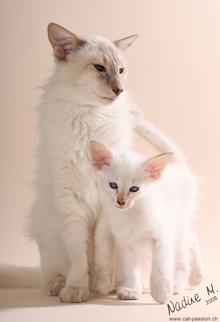 موسوعة القطط من حول العالم - أنواع القطط - أسماء القطط - صور قطط العالم