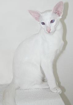 blue-eyed white Balinese male