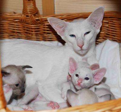pedigree siamese foreign white taiga tay of blue moon