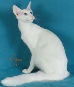 Flame Point Balinese? | Pictures of Cats Here is the catalogue http