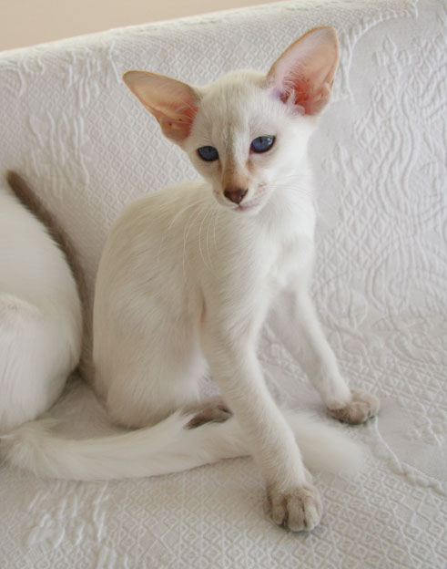 Siamese And Balinese Kittens